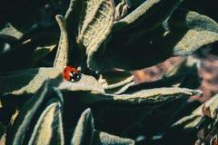 Um joaninha vermelho pequeno sobre algumas folhas fotos de stock royalty free