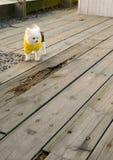 Um jogo amarelo vestindo do cachorrinho da roupa Fotos de Stock Royalty Free