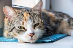 Um jovem multi-coloriu meios olhares adormecidos do gato no proprietário Imagem de Stock