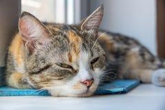 Um jovem multi-coloriu meios olhares adormecidos do gato no proprietário Imagens de Stock