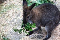 Um kangooroo pequeno está comendo as folhas verdes foto de stock