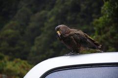 Um kea no telhado do carro em Nova Zelândia Imagem de Stock Royalty Free
