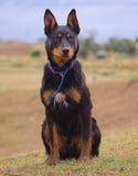 Um Kelpie australiano que espera para trabalhar. fotografia de stock
