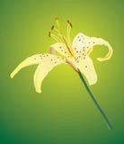 Um lírio amarelo Imagem de Stock