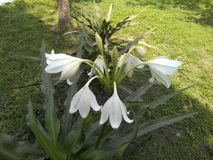 Um lírio branco em um parque verde Fotos de Stock