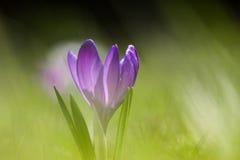 Um lírio de água branca bonito em um habitat natural O açafrão roxo bonito floresce em um fundo natural na mola Fotos de Stock