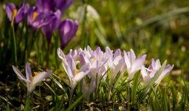 Um lírio de água branca bonito em um habitat natural O açafrão roxo bonito floresce em um fundo natural na mola Fotos de Stock Royalty Free