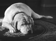Um Labrador que descansa no assoalho Fotografia de Stock