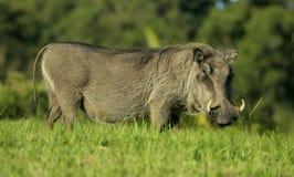 Um lado do retrato do warthog sobre foto de stock royalty free