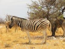 Um lado ereto da zebra no savana foto de stock royalty free