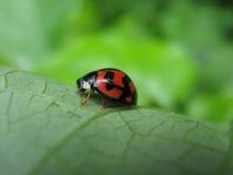 Um ladybug com pouco coração no corpo Imagem de Stock