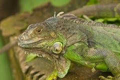 Um lagarto Fotografia de Stock Royalty Free