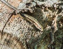 Um lagarto Imagem de Stock