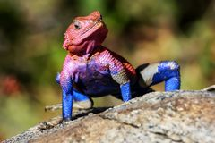 Um lagarto colorido no savana africano Parque nacional de Serengeti África Imagens de Stock Royalty Free