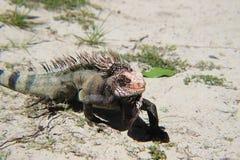 Um lagarto curioso aparece foto de stock royalty free