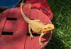 Um lagarto de dragão farpado Fotografia de Stock