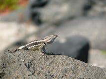 Um lagarto de laza imagens de stock
