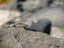 Um lagarto de laza fotos de stock