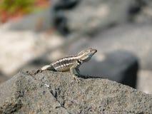 Um lagarto de laza em uma rocha imagem de stock royalty free