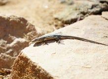 Um lagarto está olhando o inimigo imagem de stock