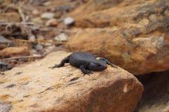 Um lagarto grande que banha-se no sol Imagem de Stock Royalty Free