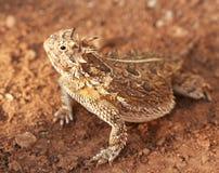 Um lagarto Horned de Texas Imagem de Stock