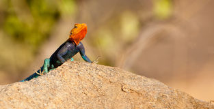 Um lagarto masculino do agamá Imagem de Stock