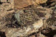 Um lagarto na pedra Fotografia de Stock Royalty Free