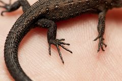 Um lagarto novo em suas mãos Fotos de Stock