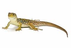 Um lagarto ocellated colorido. Fotos de Stock Royalty Free