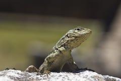 Um lagarto pequeno Fotografia de Stock