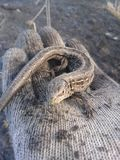 Um lagarto pequeno como um dragão sem asas fotografia de stock