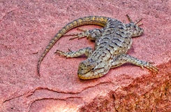 Um lagarto que expõe-se ao sol em uma rocha vermelha Fotos de Stock