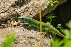 Um lagarto que tome sol no sol em uma rocha fotografia de stock