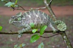 Um lagarto raro adaptado de acordo com o padrão fotos de stock