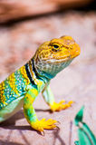 Um lagarto só Fotos de Stock Royalty Free