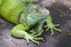 Um lagarto verde Imagens de Stock Royalty Free
