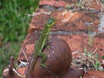 Um lagarto verde bonito nas Caraíbas filme