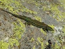 Um lagarto verde na pedra foto de stock royalty free