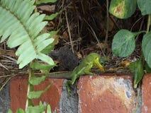 Um lagarto verde nos trópicos vídeos de arquivo