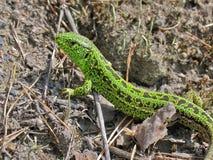 Um lagarto verde pequeno Imagens de Stock