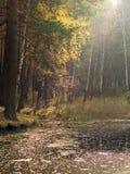 Um lago pequeno com pinhos e vidoeiros na costa na floresta do outono foto de stock