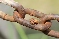 Um lanio impressionante de Xysticus da aranha do caranguejo que empoleira-se em uma corrente do metal foto de stock royalty free