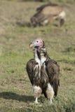 Um Lappet enfrentou o abutre (tracheliotos) de Torgos Tanzânia Foto de Stock Royalty Free