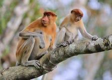 Um larvatus fêmea do Nasalis do macaco de probóscide com um filhote em um habitat do natura Foto de Stock