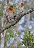 Um larvatus fêmea do Nasalis do macaco de probóscide com um filhote em um habitat nativo Fotos de Stock Royalty Free
