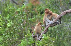 Um larvatus fêmea do Nasalis do macaco de probóscide que alimenta um filhote na árvore Fotografia de Stock Royalty Free