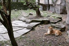Um leão Imagens de Stock