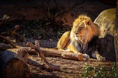 Um leão africano masculino considerável com uma juba dourada encontra-se ao lado de uma rocha em um cerco do jardim zoológico imagens de stock