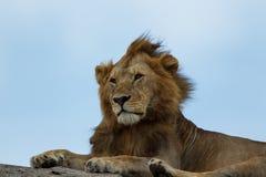 Um leão africano que descansa em um kopje no Serengeti fotos de stock royalty free